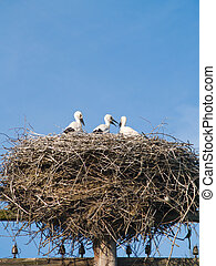 storch, familie