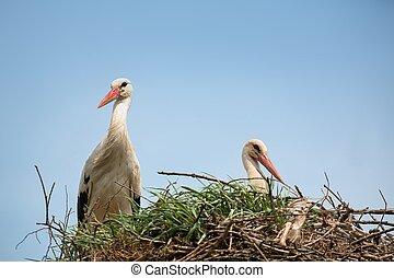 storch, in, nest, (ciconia, ciconia)