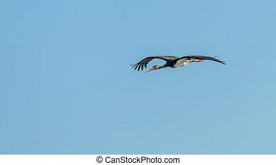 storch, schwarz, nigra., fliegendes, ciconia