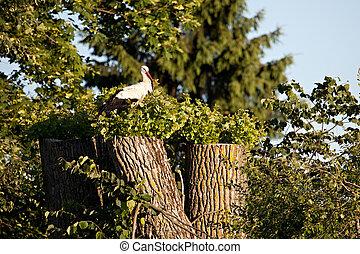 storch, weißes, ciconia), (ciconia