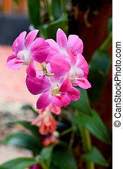 storczyk, różowy
