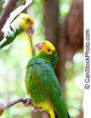 store, his, kommunikere, tropisk, klar, papegøjer, branch