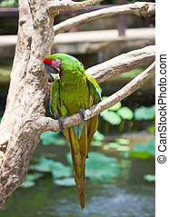 store, papegøje, his, tropisk, klar, branch