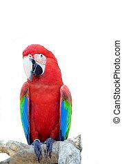 store, papegøje, tropisk, klar, branch, det sidder