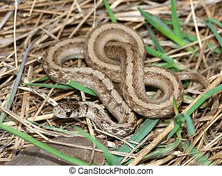 (storeria, brązowy, dekayi), wąż