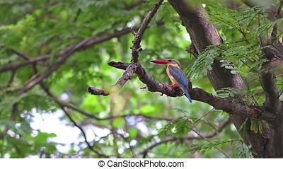 Stork-billed Kingfisher Pelargopsis capensis Beautiful Birds...