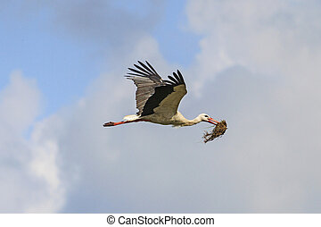Stork carrying material for nest on a background cloudy sky