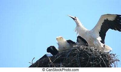 Stork comes down to nest and rattles with its beak - Stork...