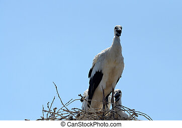 Stork famllly in the nest