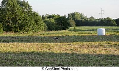 stork field straw bale - Stork bird walk in harvested...