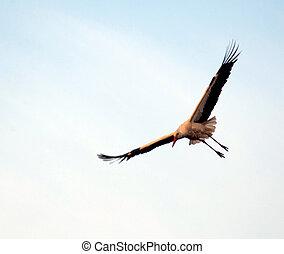 Stork flying at sunset