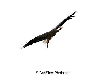 Stork flying isolated on white