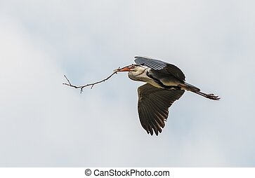Stork flying with branch in his beak