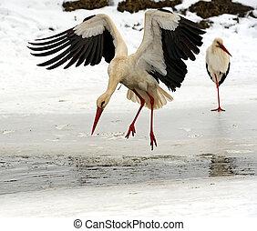 Stork in its natural habitat