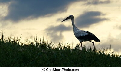Stork is walking on grass on the sunset background