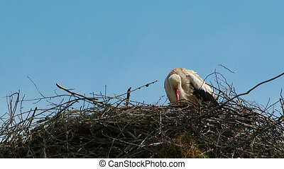 Stork is washing in her nest - Stork is washing and hiding...
