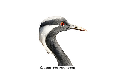 stork, isolated on a white background