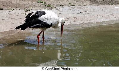 Stork looking for food in a pond