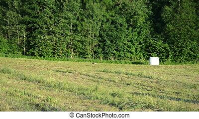 stork meadow haystack - Stork bird walk in harvested...