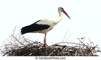 stork near a nest