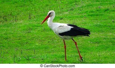 stork on a green grass in search of food