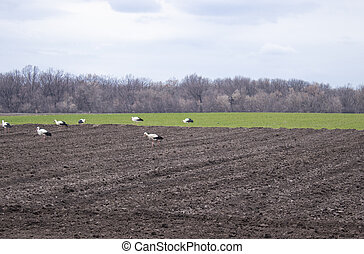 Stork on the field looking for food. Storks walk through a plowed field.