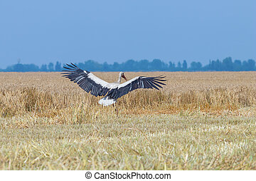 Stork on the harvested wheat field. Ciconia ciconia