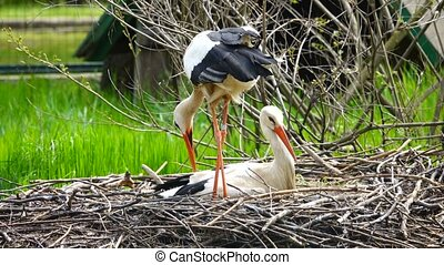 stork sits on the nest in its habitat