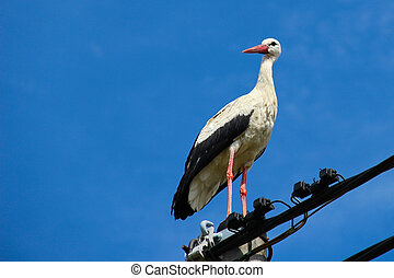 Stork standing on a power pole