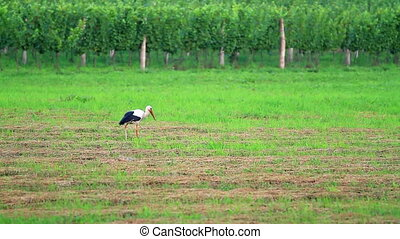 Stork walking in the field