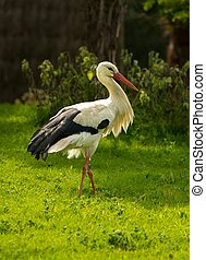 Stork walking on a meadow