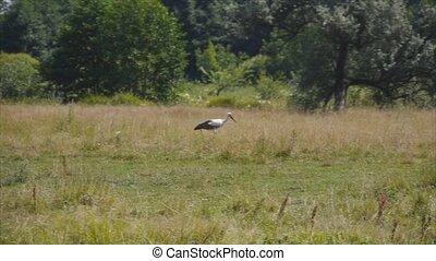 Stork walking on field