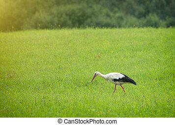 Stork walking on the green field.