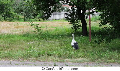 Stork walking on the road.