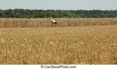 Stork Walks The Field After Harvesting Wheat. Crane Stork In The Field Is Looking For Food. Prores, Slow Motion