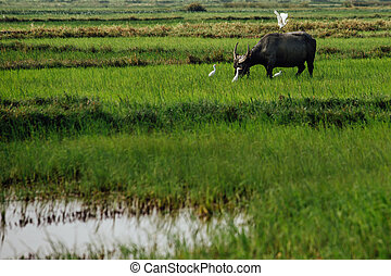 Stork white bird flies from mule bull in a field surrounded buff