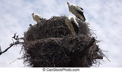 Storks And Stork Nest