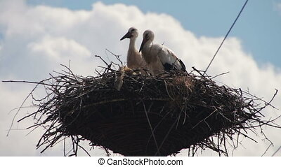 Storks are Sitting in a Nest on a Pillar. Several storks...