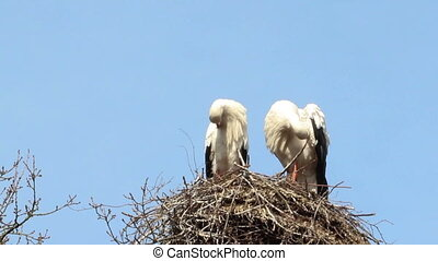 Storks cleaning themselves on their nest
