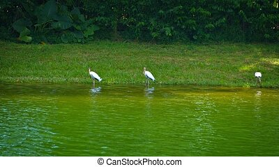 Storks Grazing along a Riverbank. - Group of white storks,...