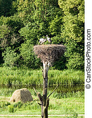 Storks in green nature