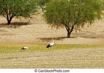 Storks in the field