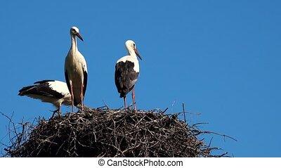 Storks in the nest on blue sky background. 4K