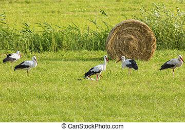 Storks on the field - Reszel area. Reszel, Warmian-Masurian, Poland.