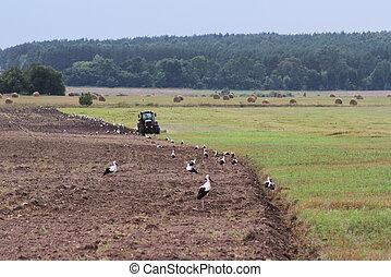 Storks walking on the mowed field during harvesting.