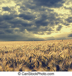 Storm clouds gathering over a wheat field