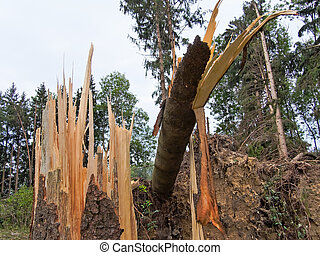 Storm damage. Trees in the forest after a storm. - Storm ...