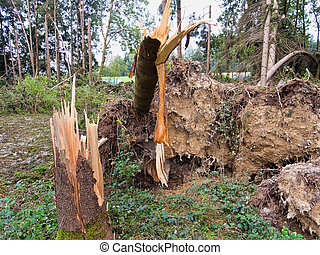 storm damage. trees in the forest after a storm.