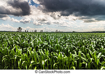storm sky corn field landscape