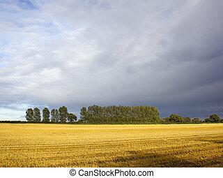 stormy skies - a stormy sky over stubble fields and poplar...